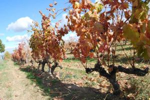 Alonso del Yerro vingård